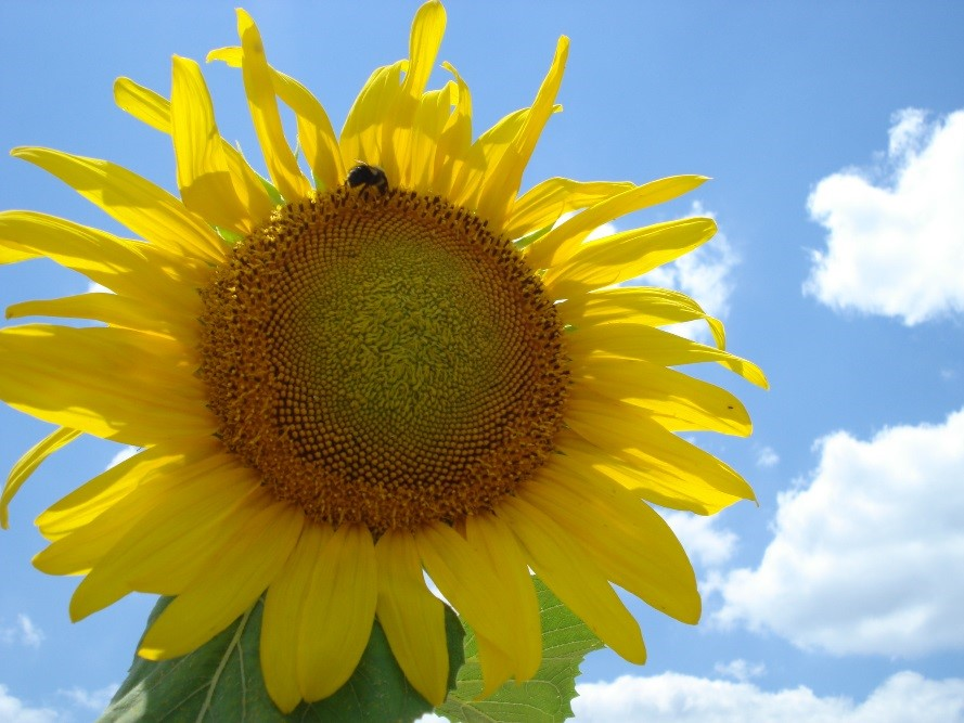 Jennifer Mandel publishes paper on sunflowers