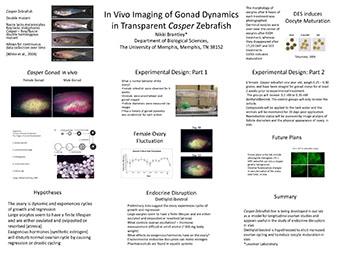 In Vivo Imaging of Gonad Dynamics in Transparent Casper Zebrafish Nikki Brantley