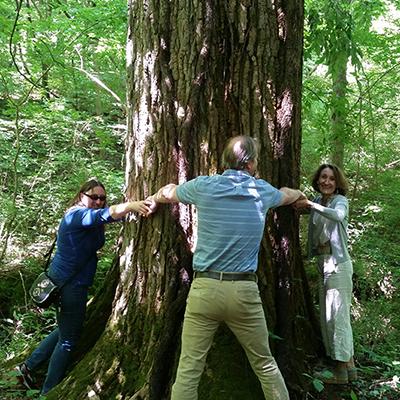 Largest Cottonwood tree at Meeman