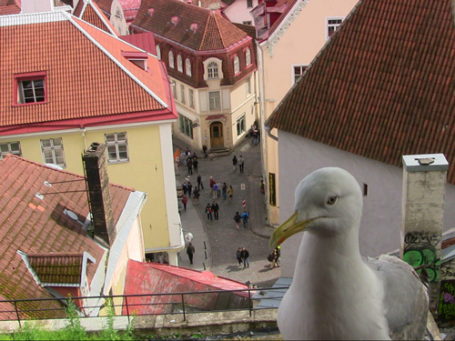 View of Tallinn, with friendly seagull