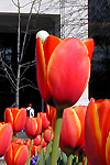 tulips at the McWherter Library