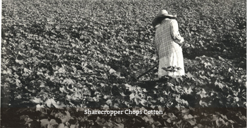 Sharecropper chops Cotton